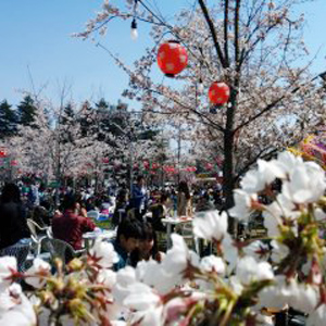 Cherry Blossoms in Sendai Nishikoen
